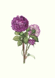 Moss Rose 'William Lobb' Limited Edition Print
